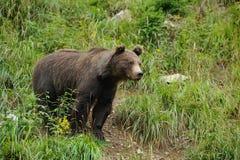 大棕熊在森林里 免版税库存照片