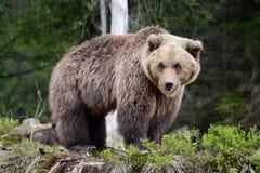 大棕熊在森林里 库存图片