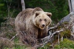 大棕熊在森林里 免版税库存图片
