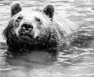 大棕熊游泳画象在水中 库存图片