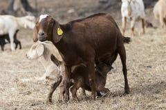 大棕色保姆山羊护理婴孩在牧场地调遣,围拢由牧群 免版税图库摄影