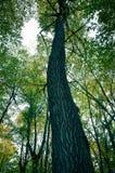 大棕色树干和老树新的绿色叶子  免版税库存照片