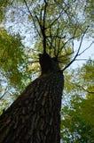 大棕色树干和老树新的绿色叶子  免版税库存图片
