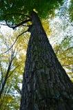 大棕色树干和老树新的绿色叶子  库存图片