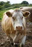 大棕色母牛在仓前空地不 1 库存照片