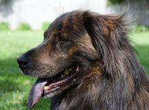 大棕色狗气喘 库存图片