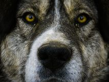大棕色狗面孔 免版税库存图片