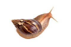 大棕色蜗牛在白色爬行 免版税库存图片
