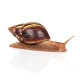 大棕色蜗牛爬行 免版税图库摄影