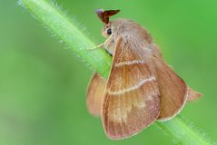 大棕色蝴蝶macrothylacia rubi坐绿色茎o 库存照片