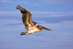 大棕色飞行鹈鹕 免版税库存照片