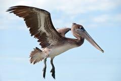 大棕色飞行鹈鹕 图库摄影