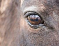 大棕色马眼睛 库存图片