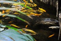 大棕色鳄鱼游泳在池塘 免版税库存图片