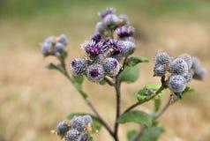 大植物名,四季不断的草本植物特写镜头 免版税库存图片