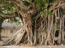 大榕树根在城市 免版税库存照片