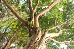 大槭树-储蓄图象 免版税图库摄影