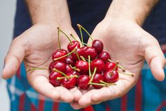 大樱桃在收获的手上 免版税库存照片
