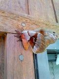 大橙色褐红和白色飞蛾 库存图片