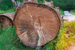 大橡木树干-木头 免版税图库摄影