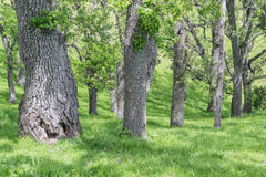 大橡木树干 免版税库存图片