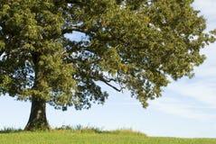 大橡木老结构树 免版税图库摄影