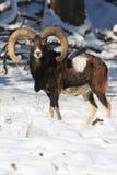 大欧洲moufflon在森林里,野生动物在自然栖所 免版税库存照片