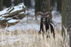 大欧洲moufflon在森林里,野生动物在自然栖所 免版税库存图片