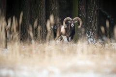 大欧洲moufflon在森林里 免版税库存照片