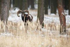 大欧洲moufflon在森林里 库存照片