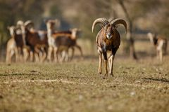 大欧洲moufflon在森林里 免版税图库摄影
