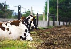 大母牛断裂 库存图片