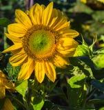 大每年向日葵 免版税库存照片