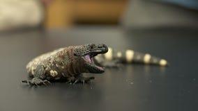 大毒蜥怪物张开下颌 影视素材