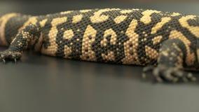 大毒蜥怪物,朝向的尾巴 股票录像