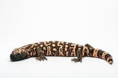大毒蜥怪物,隔绝在白色背景资料 免版税库存图片