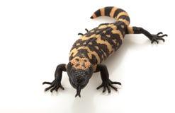 大毒蜥怪物 库存图片