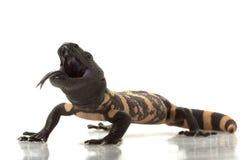 大毒蜥怪物 免版税库存图片
