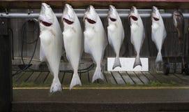 大比目鱼和鲈鱼新鲜的抓住  免版税库存照片