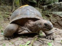 大毛里求斯塞舌尔群岛乌龟 免版税库存图片