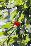 大水多樱桃甜点 免版税库存图片