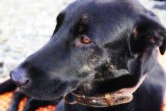大沉思的狗画象  与明亮的眼睛的沮丧 俄国 免版税图库摄影