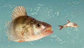 大河栖息处(鲈鱼属fluviatilis) 免版税库存图片