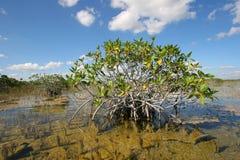 大沼泽地国家公园,佛罗里达矮小的美洲红树树  免版税库存照片