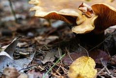 大波浪起伏的蘑菇的盖帽是黄色的 牡蛎mushr 图库摄影