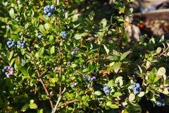 大浅兰的莓果蓝莓庭院,生长束和暗藏的绿色叶子在灌木的分支 图库摄影