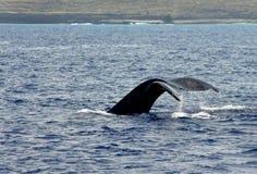 大海岛尾标鲸鱼 库存图片