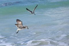 大海鸟信天翁跟踪在泡沫似的波浪上的牺牲者 库存图片