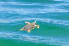 大海龟海龟海龟在地中海 图库摄影