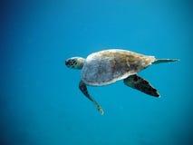 大海龟游泳在水下 免版税库存图片